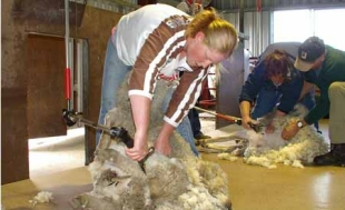 Shearing at Bona Vista