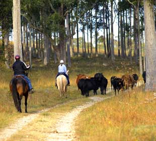 Moving cattle around the property