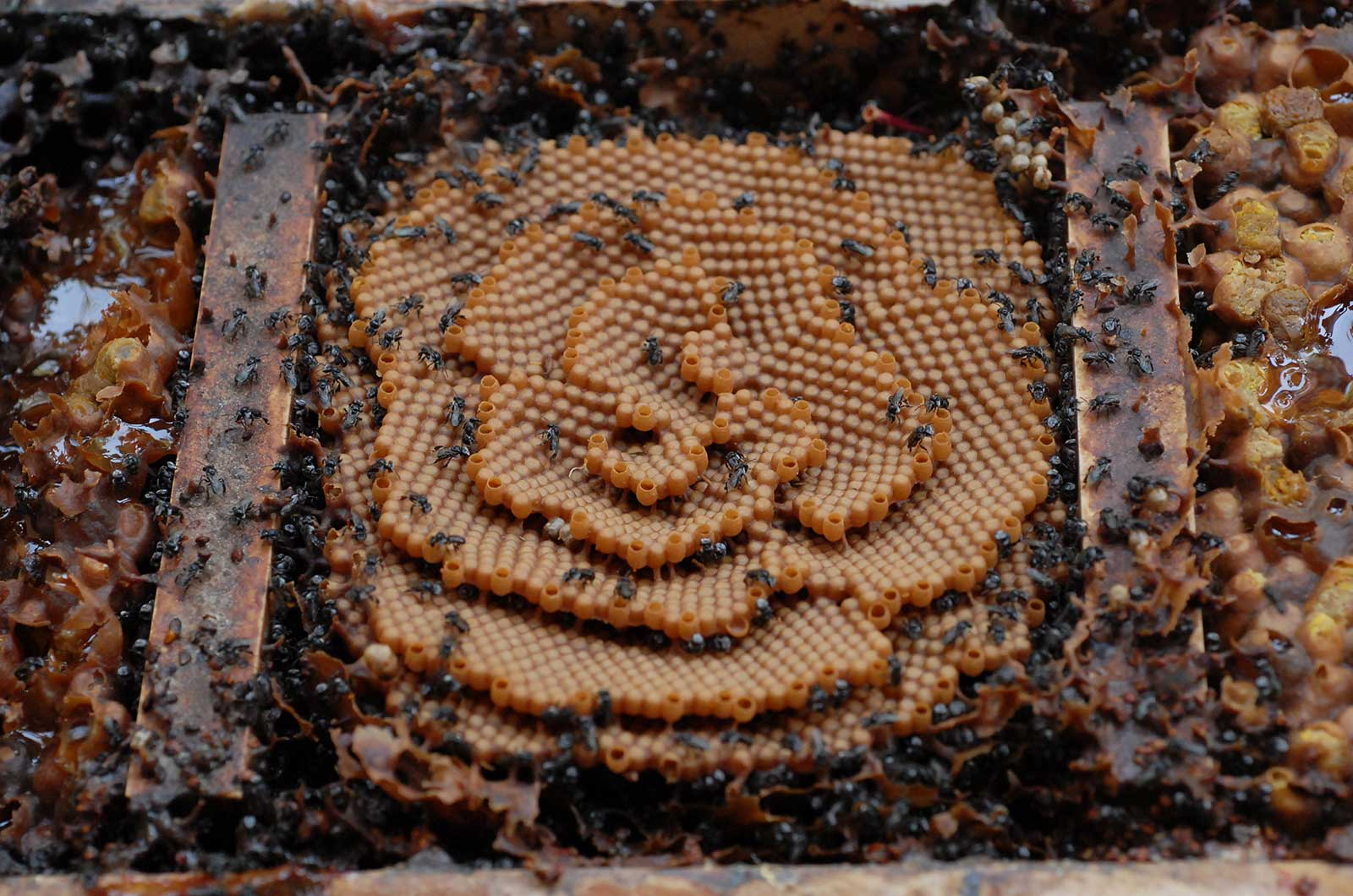 Image for Course Native stingless bees