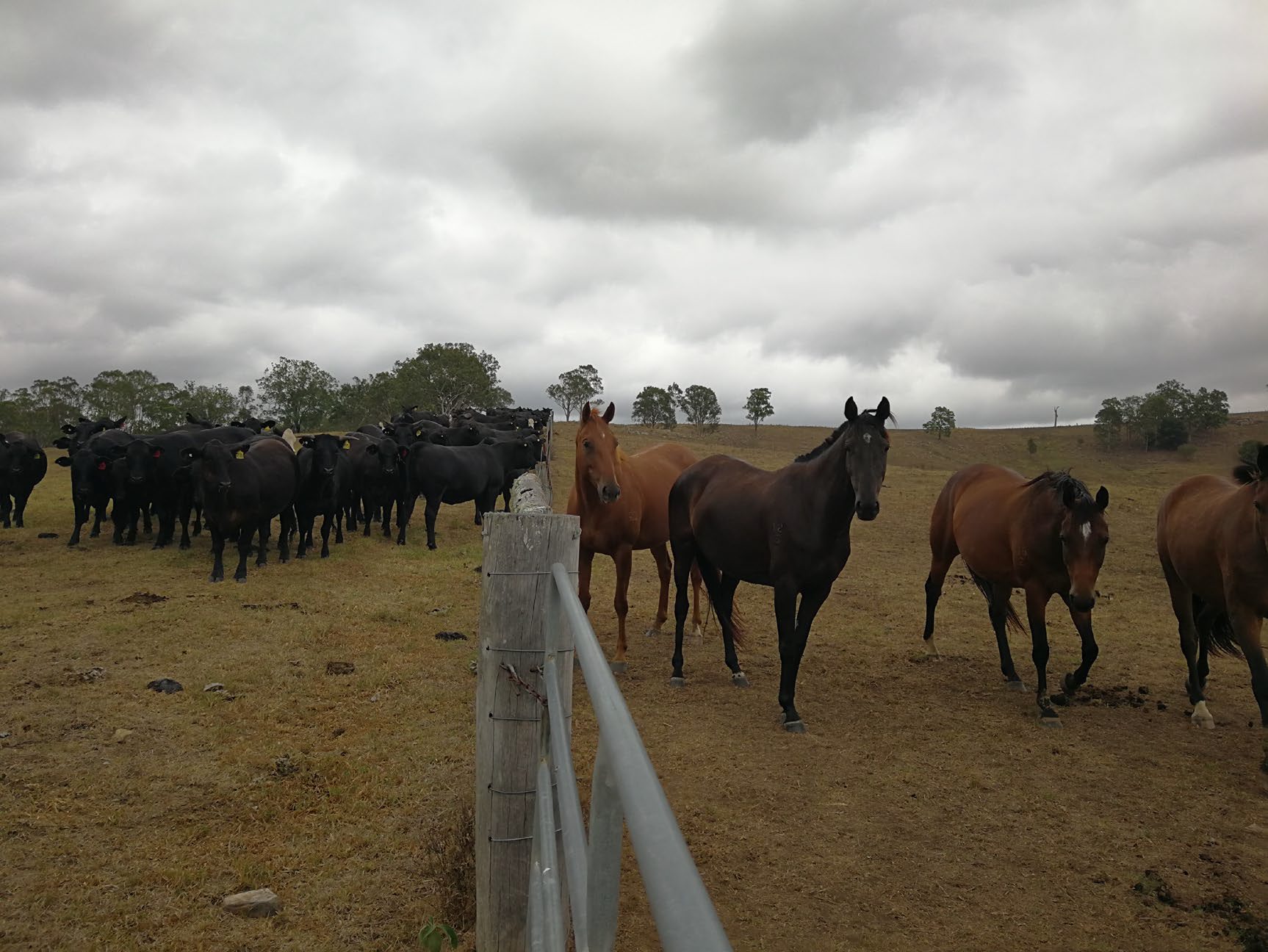 Horses are run on same area of Tocal as the beef cattle.