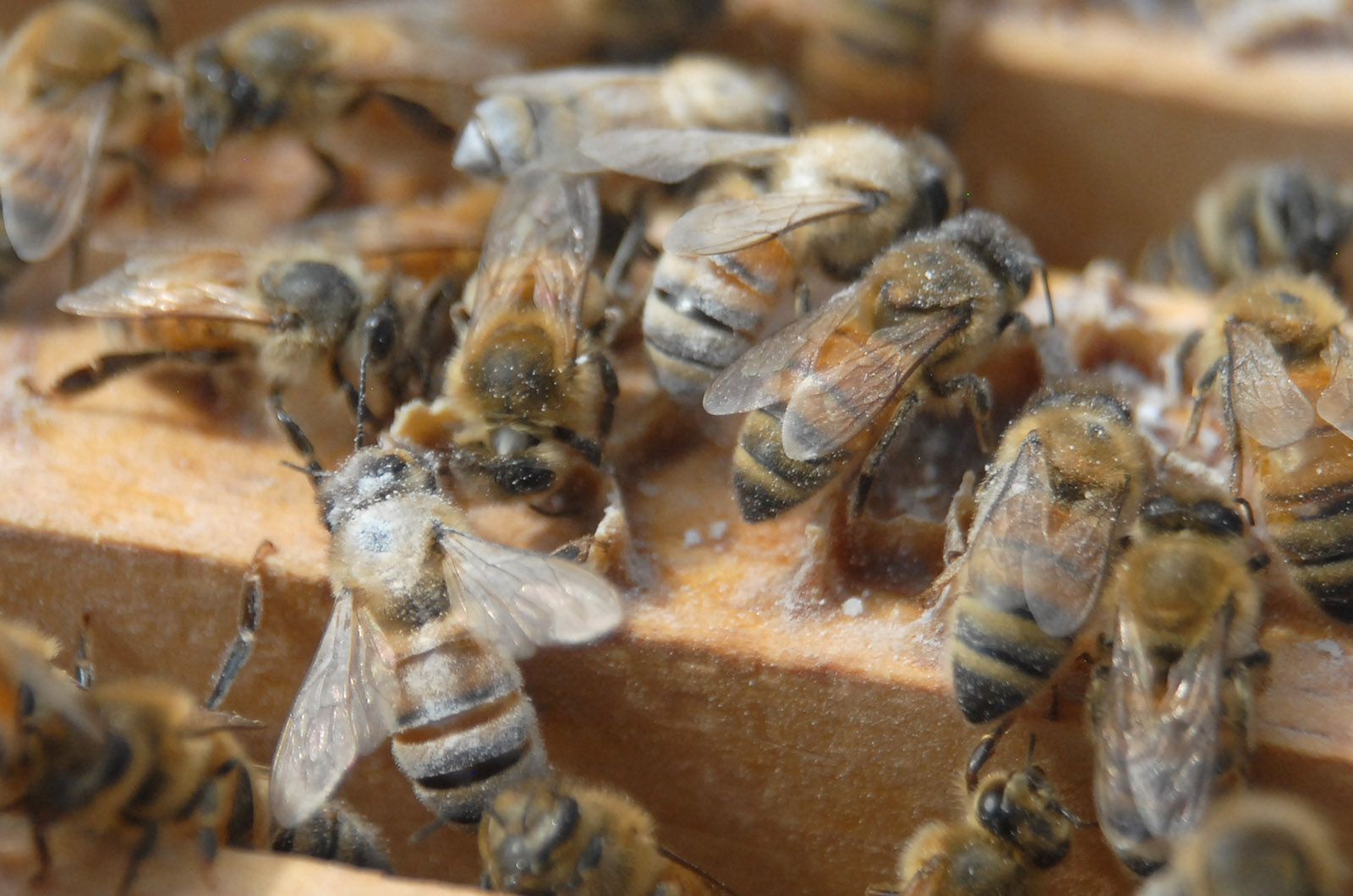 Image for Course Honey Bee Biosecurity