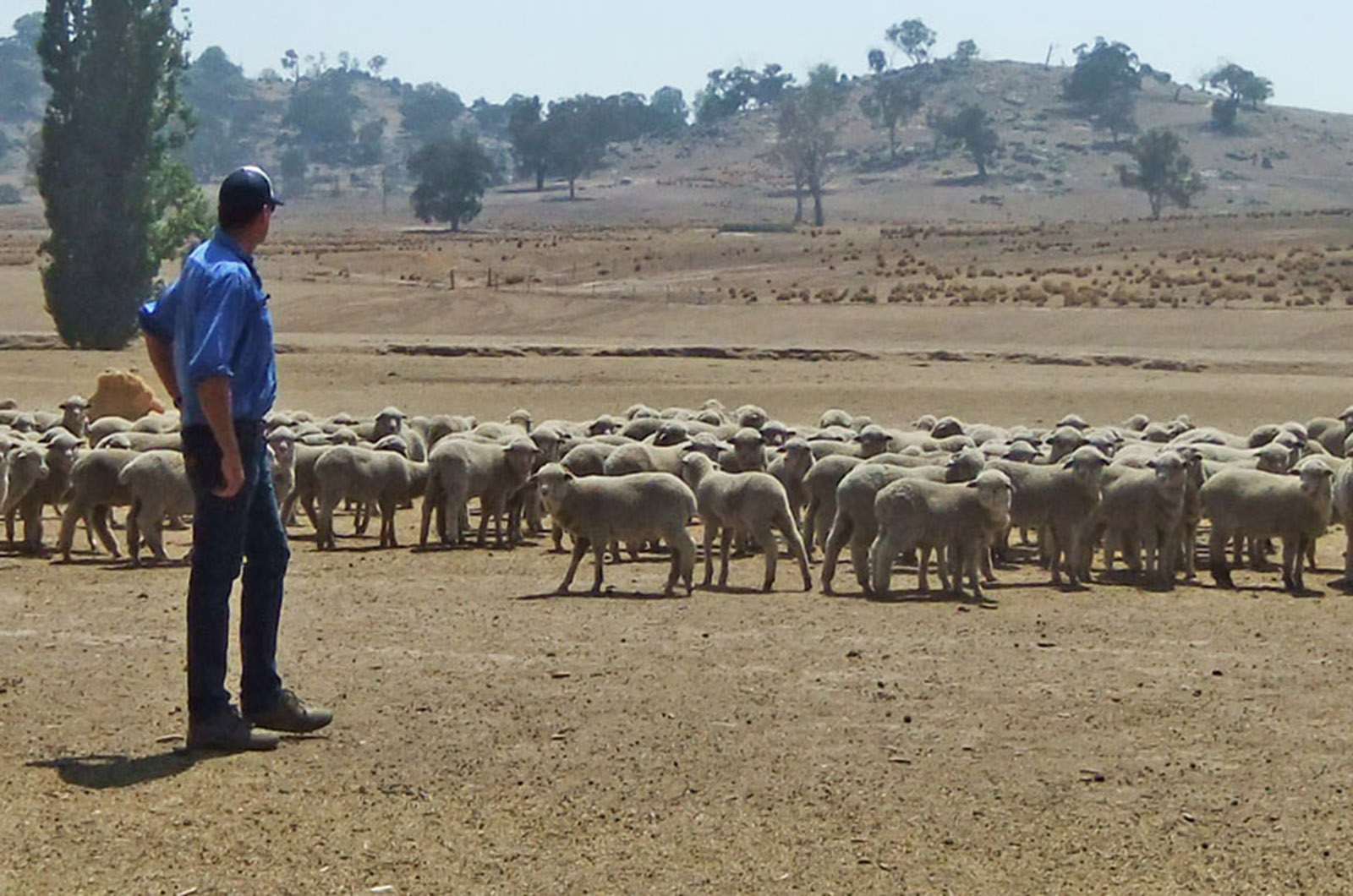 Farmer in sacrifice paddock with sheep