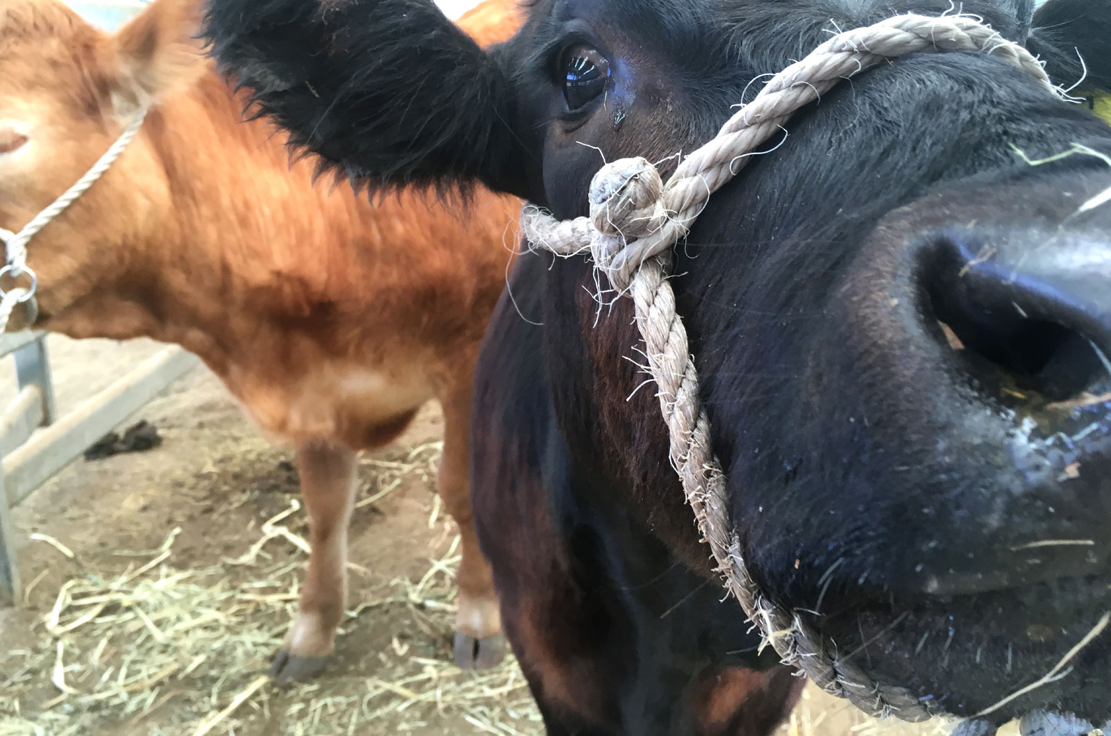 Cattle with halters