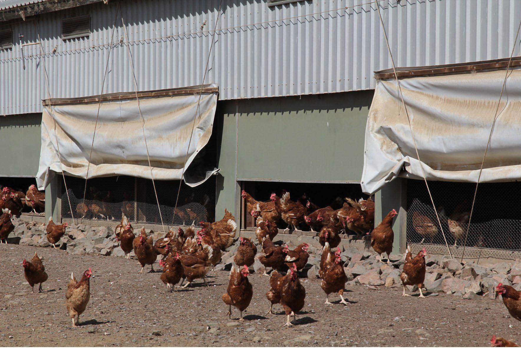 Chicken Range